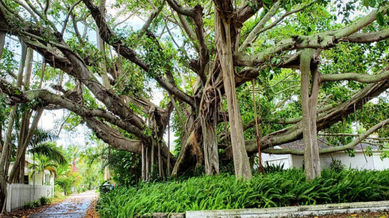 A large banyan tree with green leaves