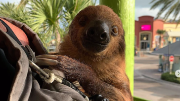 Photo of a smiling sloth