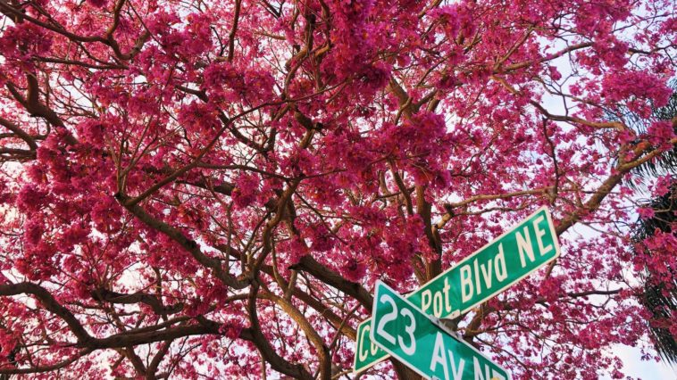 Photo of a pink tree blooming