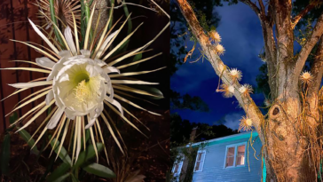 Photo of night blooming cactus